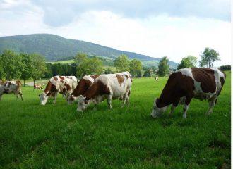 Vaches Montbéliardes appartenant à notre GAEC des épilobes